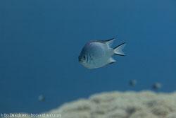 BD-100920-Fury-Shoal-1733-Amblyglyphidodon-leucogaster-(Bleeker.-1847)-[Whitebelly-damselfish].jpg